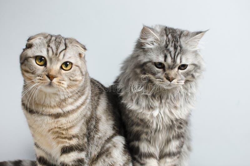 Det skotska vecket och skotska pryamouhy, blått marmorerar katter På en whi arkivfoto