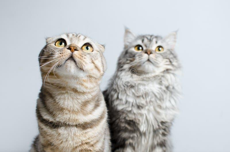 Det skotska vecket och skotska pryamouhy, blått marmorerar katter På en whi royaltyfri fotografi