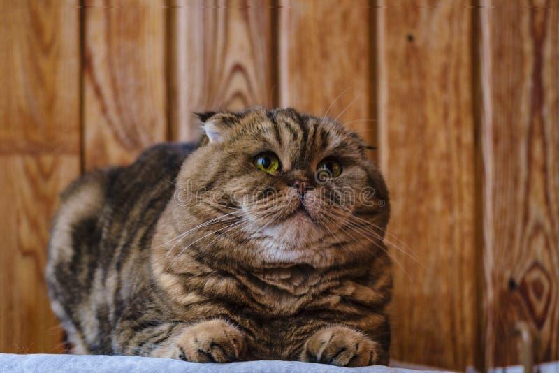 Det skotska vecket sitter på en trätextur Härlig flerfärgad bandkatt med guling-gräsplan ögon Den slokörade kattungen gör se inte royaltyfria foton