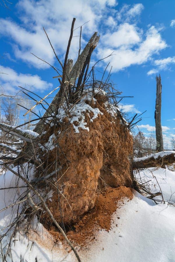 Det smutsiga trädet rotar synligt från ett stupat träd på en solig och snöig vinterdag i området för Crexängdjurliv i nordliga Wi royaltyfri fotografi