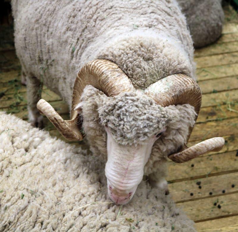 Det sovjetiska merino fåret är ett traskat däggdjur royaltyfria foton
