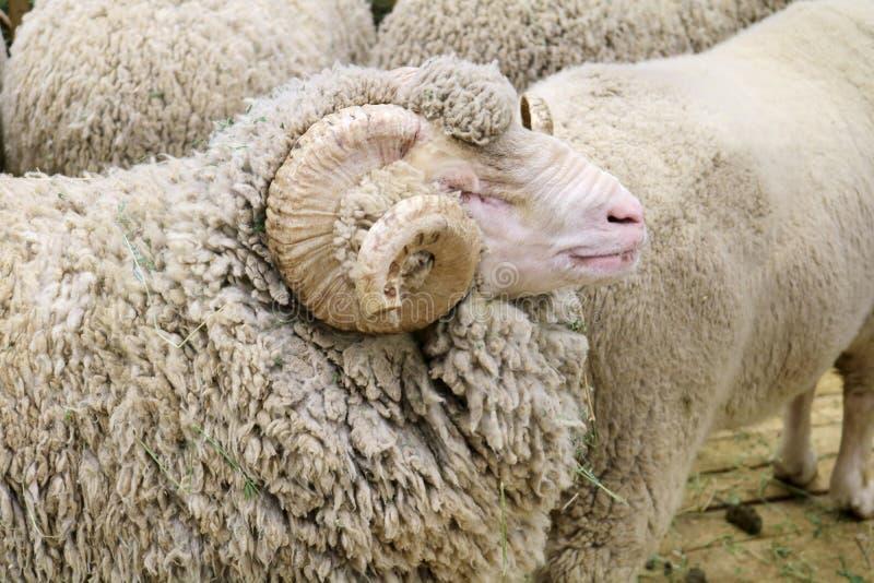 Det sovjetiska merino fåret är ett traskat däggdjur fotografering för bildbyråer
