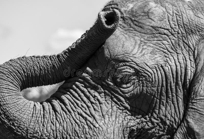Det specificerade fotoet av framsidan och stammen av en afrikansk elefant som fotograferas på den Knysna elefanten, parkerar, Syd fotografering för bildbyråer