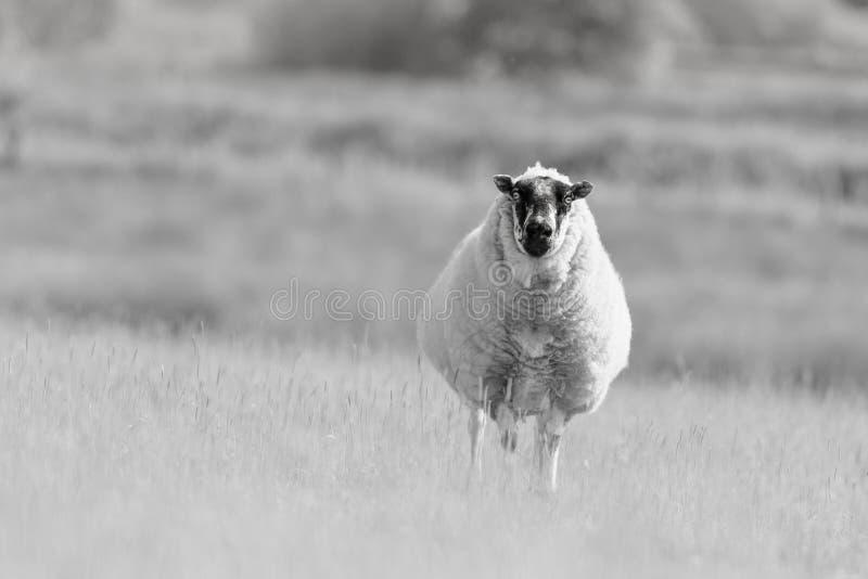 Det spräckliga vände mot fåret står ut i äng royaltyfria foton