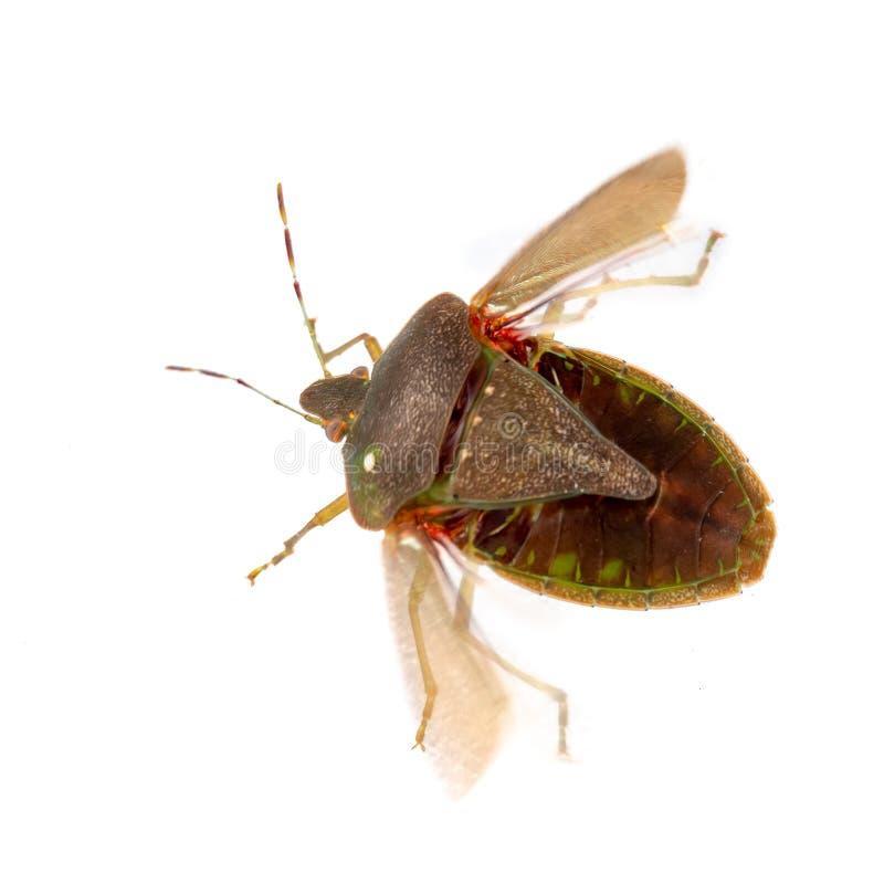 Det stankaka sköldfelet, den Nezara viridulaen, vuxen människa i vinter färgar omkring för att flyga med synliga vingar Isolerat  arkivbild