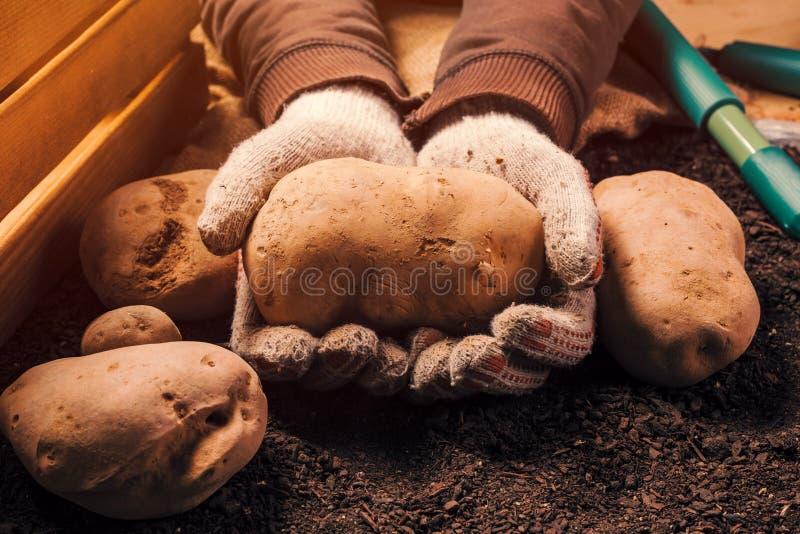 Det stolta bondeinnehavet skördade den organiska potatisknölen i händer arkivfoto