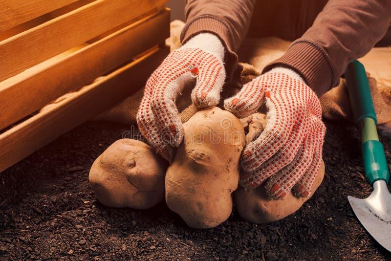 Det stolta bondeinnehavet sk?rdade den organiska potatiskn?len i h?nder royaltyfria foton