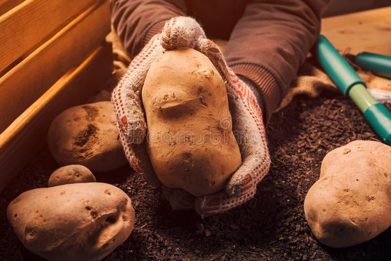 Det stolta bondeinnehavet sk?rdade den organiska potatiskn?len i h?nder royaltyfri foto