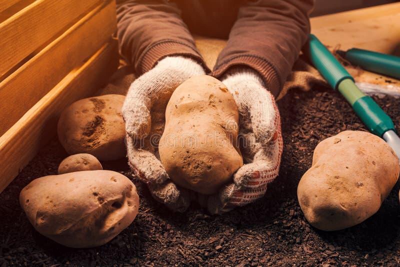 Det stolta bondeinnehavet sk?rdade den organiska potatiskn?len i h?nder arkivbild