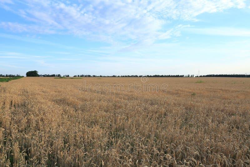 Det stora öppna fältet av guld- vete ser harmoniously mot den blåa himlen royaltyfria bilder