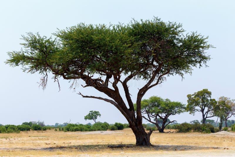 Det stora akaciaträdet i den öppna savannet plattar till Afrika royaltyfria foton