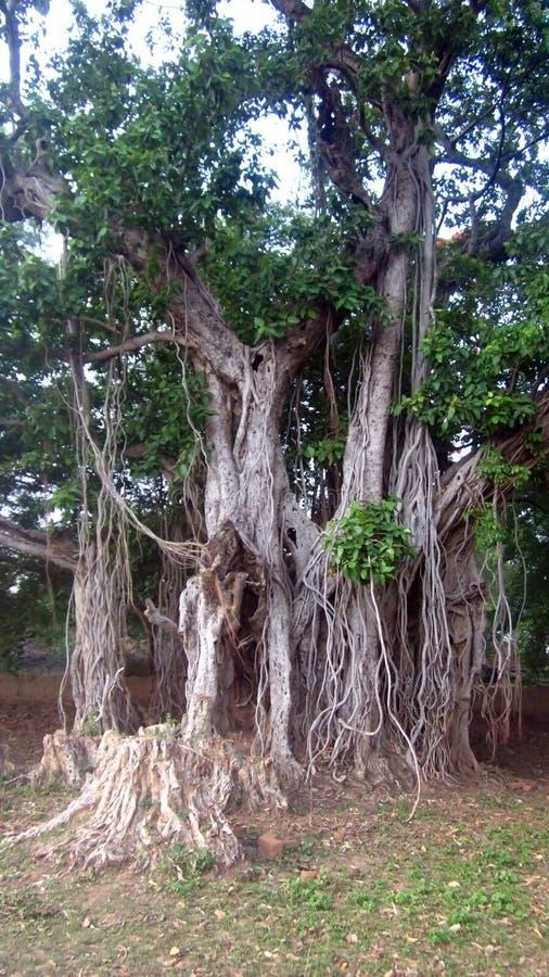 Det stora Banyanträdet med något kraschat område mer än åriga 100 royaltyfri bild