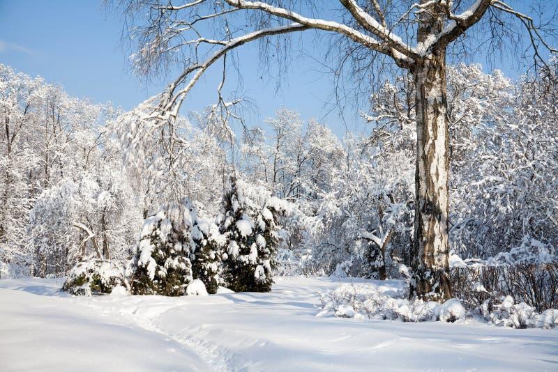 Det stora björkträdet med täckt snö förgrena sig, det härliga vinterskoglandskapet, den kalla januari soliga dagen blå sky royaltyfri foto
