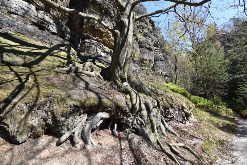 Det stora forntida trädet med det stora trädet rotar på Elbe sandstenberg i den härliga anglosaxaren Schweiz nära bohemmet Schwei fotografering för bildbyråer