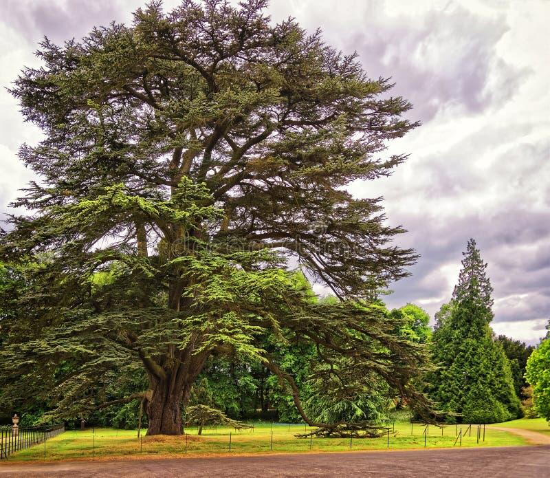 Det stora gamla cederträträdet parkerar in av Audley sluthus royaltyfri fotografi