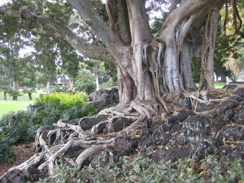 Det stora gamla trädet med rotar att växa över vaggar royaltyfria bilder