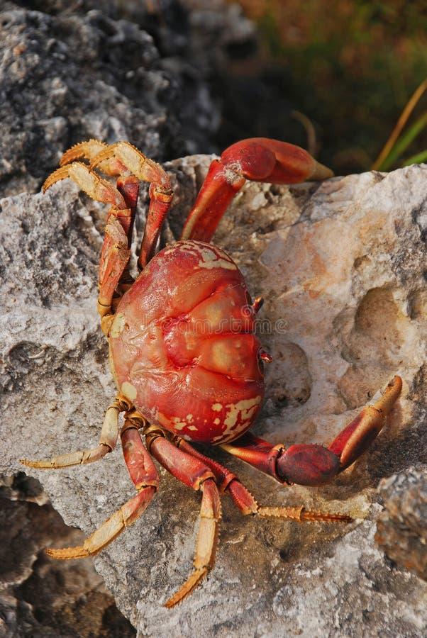 Det stora krabbaskalet på en ojämn yttersida vaggar närliggande en strand i Kuba royaltyfri fotografi
