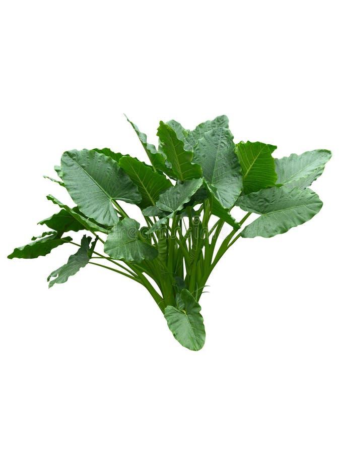 Det stora plana bladet som isoleras på vit bakgrund, den glansiga gröna linjen naturlig textur som är ny gömma i handflatan treet arkivfoto