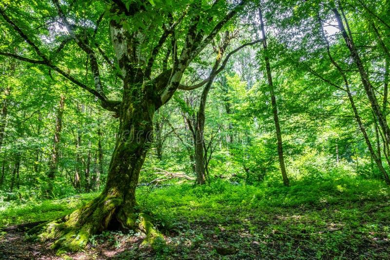 Det stora trädet Carpinus Betulus som, gemensamt är bekanta som den europeiska eller gemensamma avenboken arkivfoto