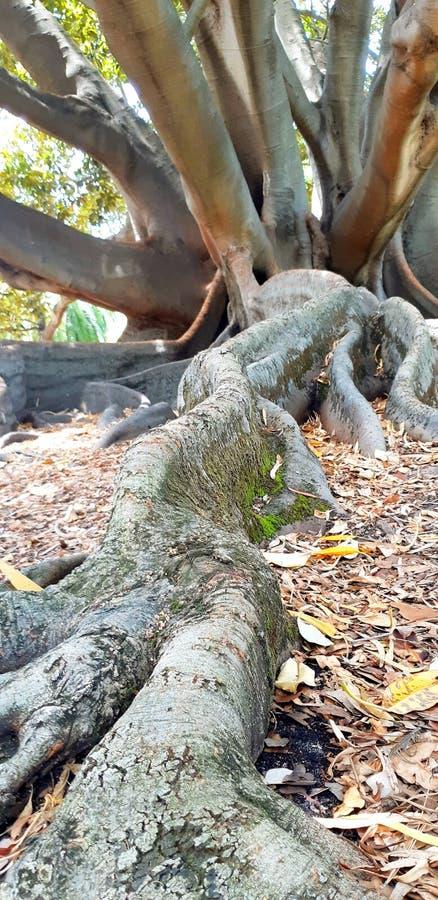 det stora trädet i konungar parkerar royaltyfri fotografi
