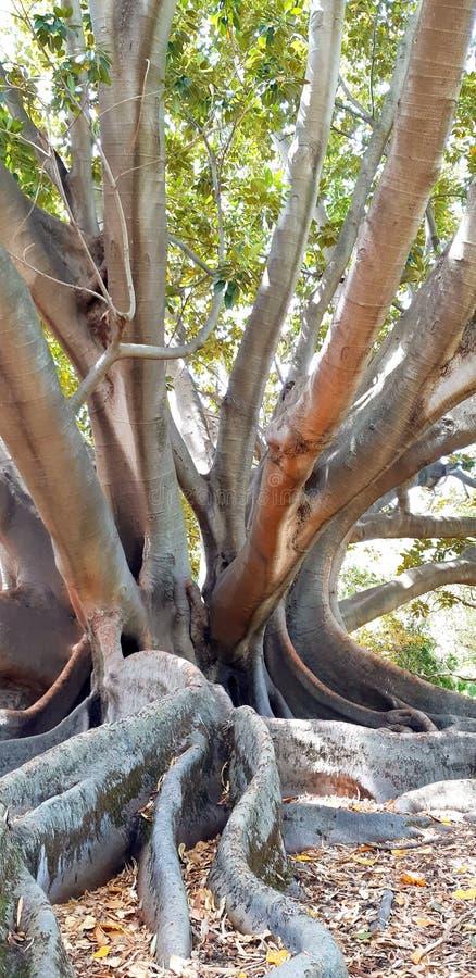 det stora trädet i konungar parkerar arkivbild