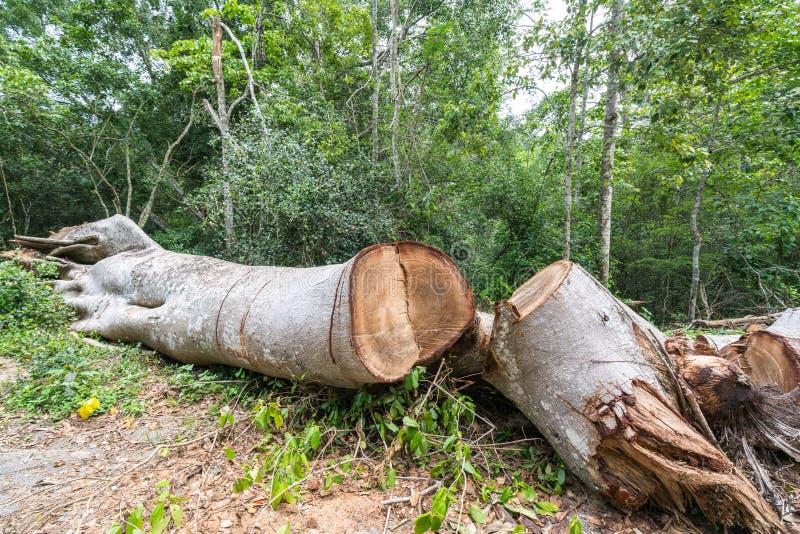 Det stora trädet klippte ner i det skog-, skogsavverkning- eller global uppvärmningbegreppet, miljöfråga royaltyfria bilder