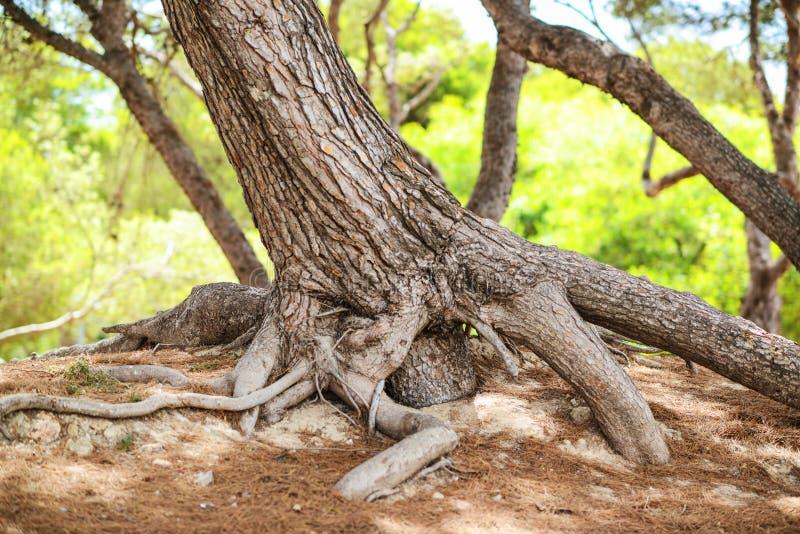 Det stora trädet med enormt rotar fördelning runt om det royaltyfri foto