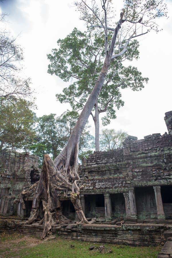 Det stora trädet rotar sammanslutningen med den forntida stenbalkongen på Preah Khan t arkivfoton
