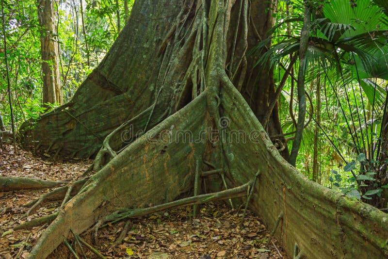 Det stora trädet rotar tropiska djungler fotografering för bildbyråer