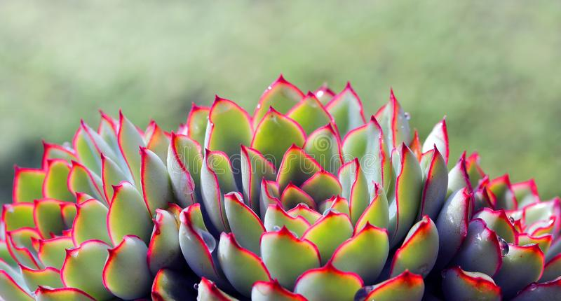Det suckulenta växttillståndet är mycket härligt! royaltyfri fotografi