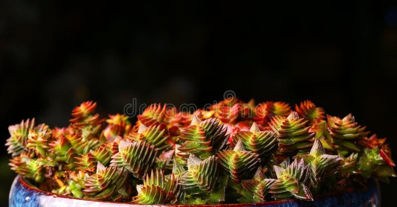 Det suckulenta växttillståndet är mycket härligt fotografering för bildbyråer
