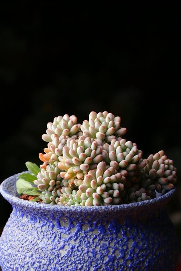 Det suckulenta växttillståndet är mycket härligt arkivfoto