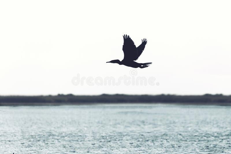 Det svarta fågelflyget i frihet över havet på aftonen tänder arkivfoton