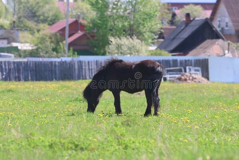 Det svarta härliga fölet äter nytt gräs i fält royaltyfri fotografi