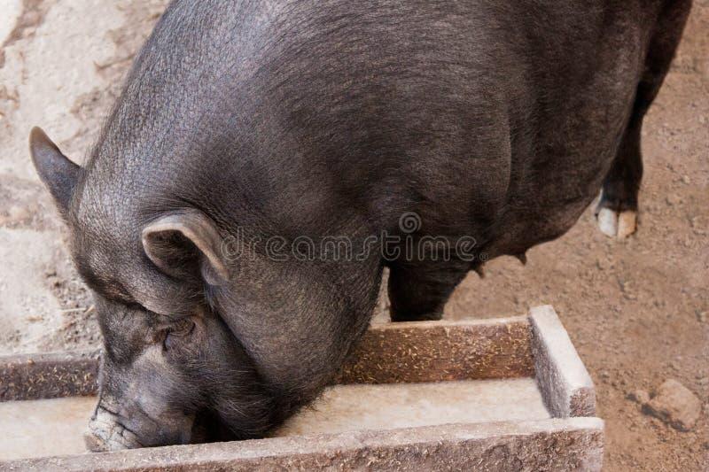 Det svarta vietnamesiska svinet på lantgården i ladugården äter från ho arkivfoton