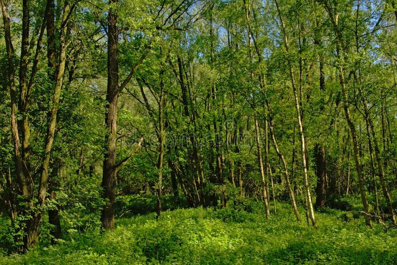 Det täta barnet fjädrar skogen i den flemish bygden arkivfoto
