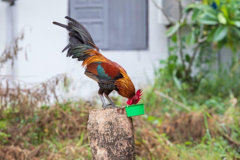 Det thailändska infallet för den slåss hanen är ungt, och härliga färghår och den röda huven, är husdjuret för show royaltyfri bild