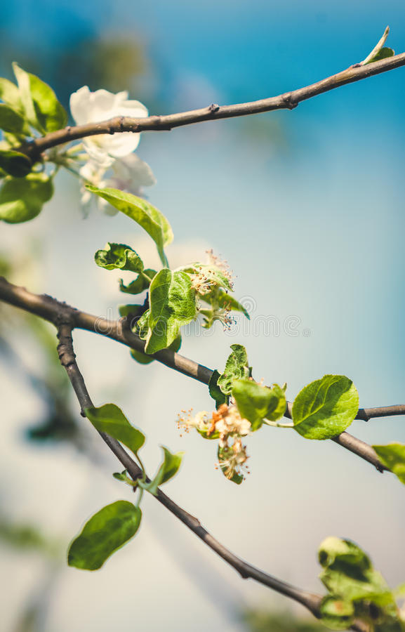 Det tonade fotoet av det vita äpplet blommar på träd royaltyfri bild