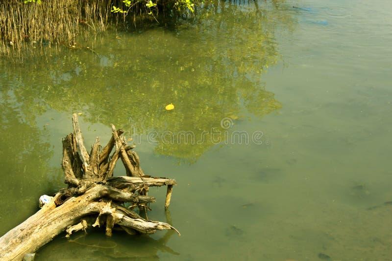 Det torkade döda trädet rotar med floden för tillbaka vatten royaltyfria foton