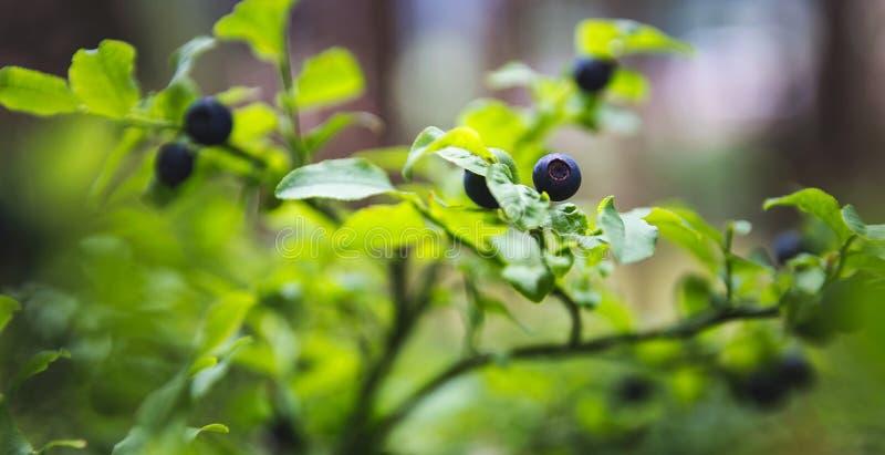 Det trevliga mogna blåbäret i skog på den lilla busken, stänger sig upp fotoet arkivfoto