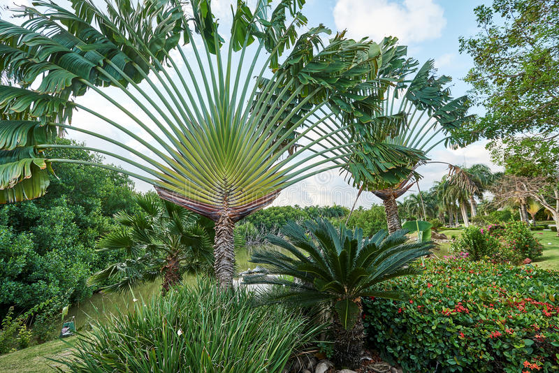 Det tropiska landskapet med den Ravenala för trädet för handelsresande` s madagascariensisen, sago gömma i handflatan Cycasrevolu royaltyfri foto