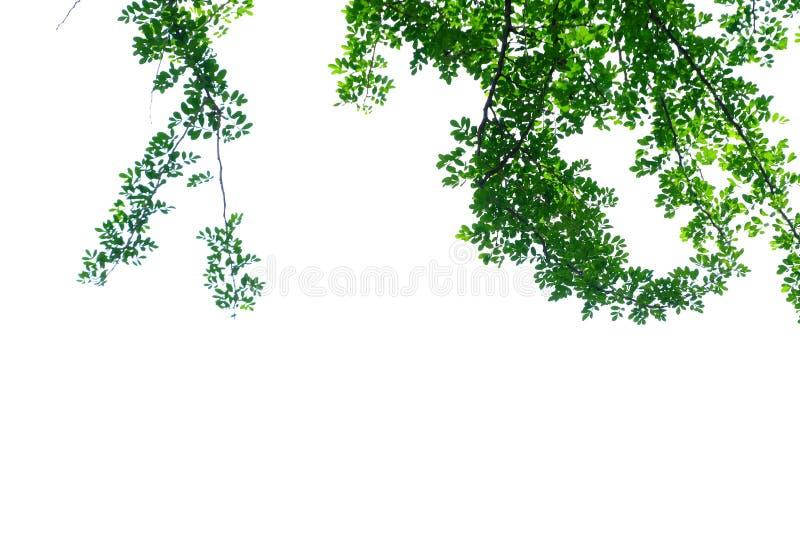 Det tropiska trääppleträdet lämnar med filialer på vit isolerad bakgrund för grön lövverkbakgrund arkivfoton