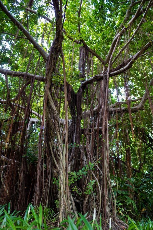 Det tropiska trädet som fullständigt är bevuxet med, rotar och vinrankor arkivbilder