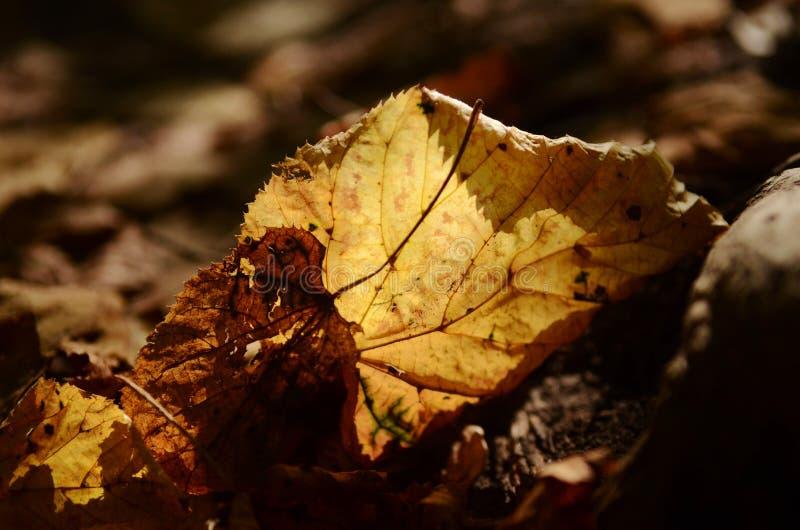 Det tunna torra höstbjörkträdet lämnar på det jordgenomskinliga guld- mjuka ljuset royaltyfri bild