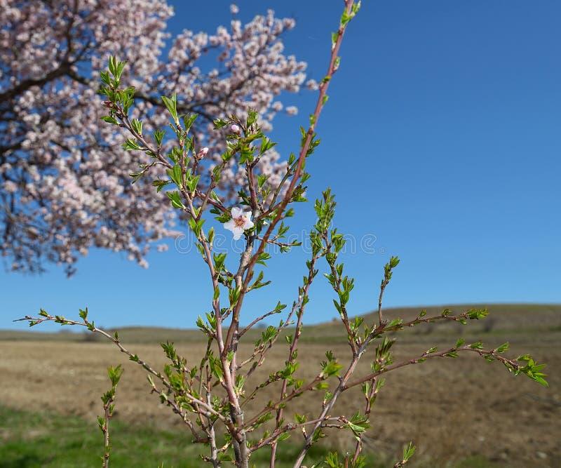 Det unga blomstra persikaträdet arkivbild