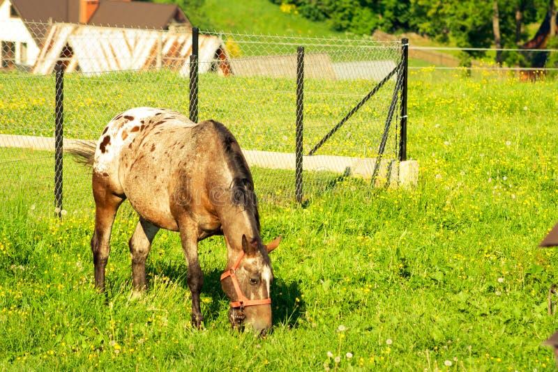 det unga fölet betar på grönt gräs i bergen Hästen står på en äng och äter arkivbild