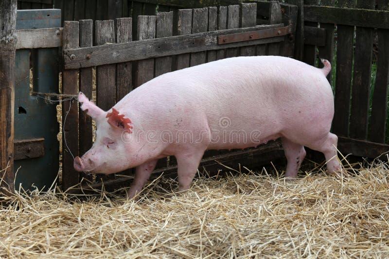 Det unga inhemska fridsamma lyckliga svinet stöter ihop med i pigpenen royaltyfri fotografi