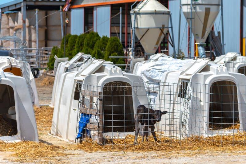 Det unga kalvanseendet i en mejerilantgård, ser vaket fotografering för bildbyråer