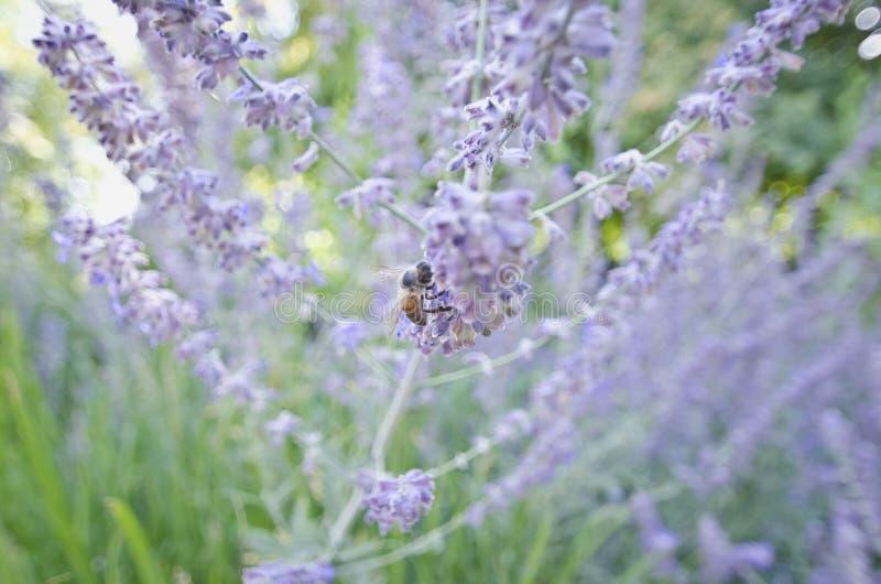 Det upptagna biet som arbetar på de purpurfärgade blommorna royaltyfria bilder
