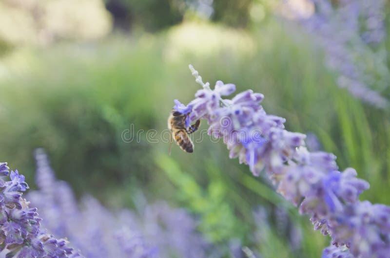 Det upptagna biet som hänger på de purpurfärgade blommorna, kantar royaltyfria bilder